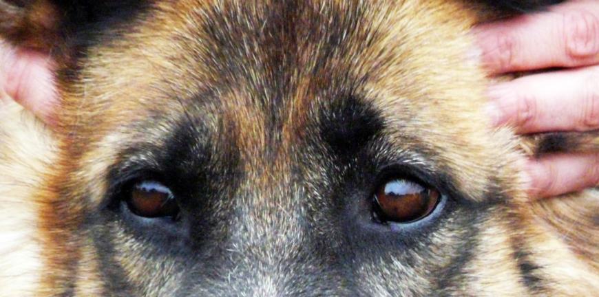 Mains de l ostéopathe sur la tête d un chien